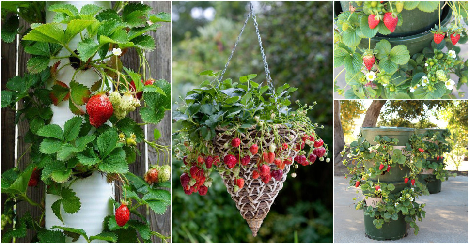 how to grow good strawberries