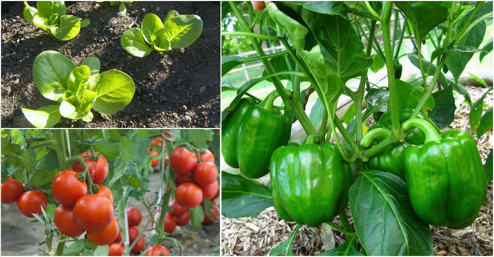 Top 10 easiest vegetables to grow for beginning gardeners for Easiest vegetables to grow